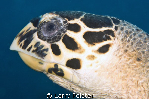 Head shot of hawksbill turtle, D300-60mm by Larry Polster 